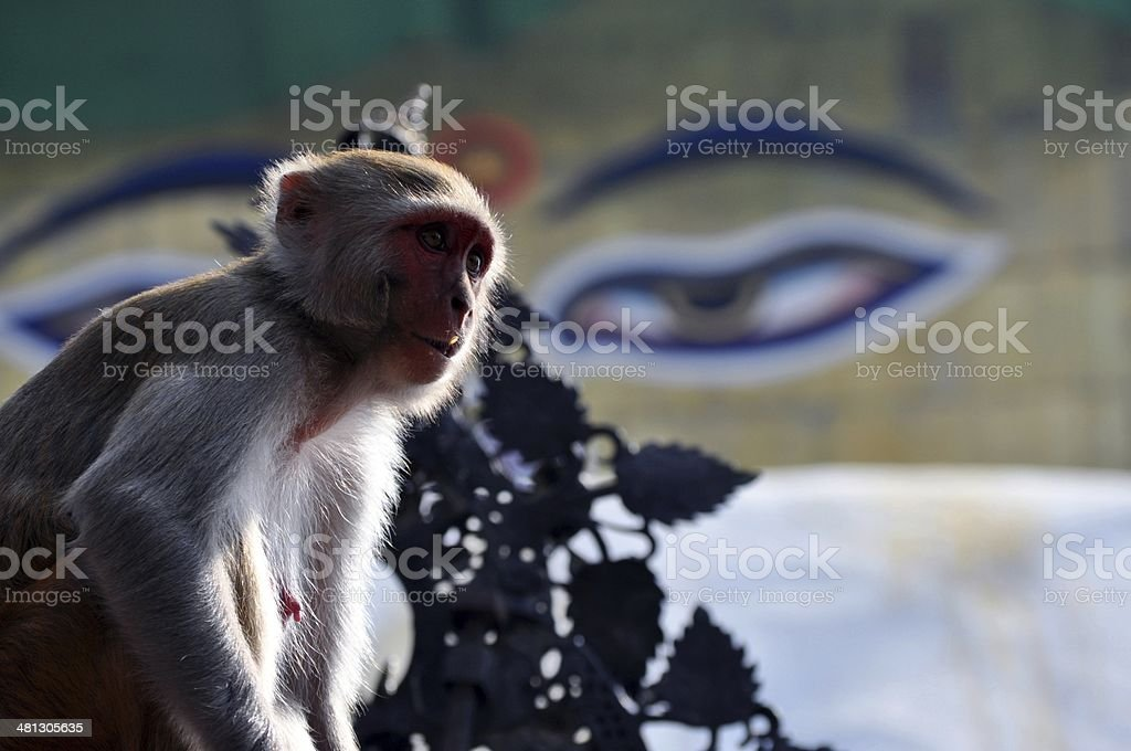 Monkeys royalty-free stock photo