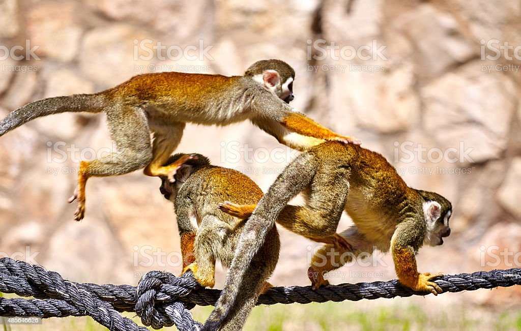 Monkeys playing on the rope stock photo