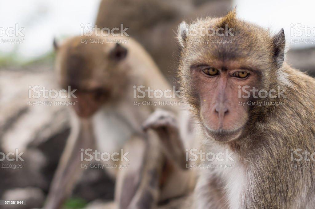 Monkeys portrait Close-up  face. stock photo