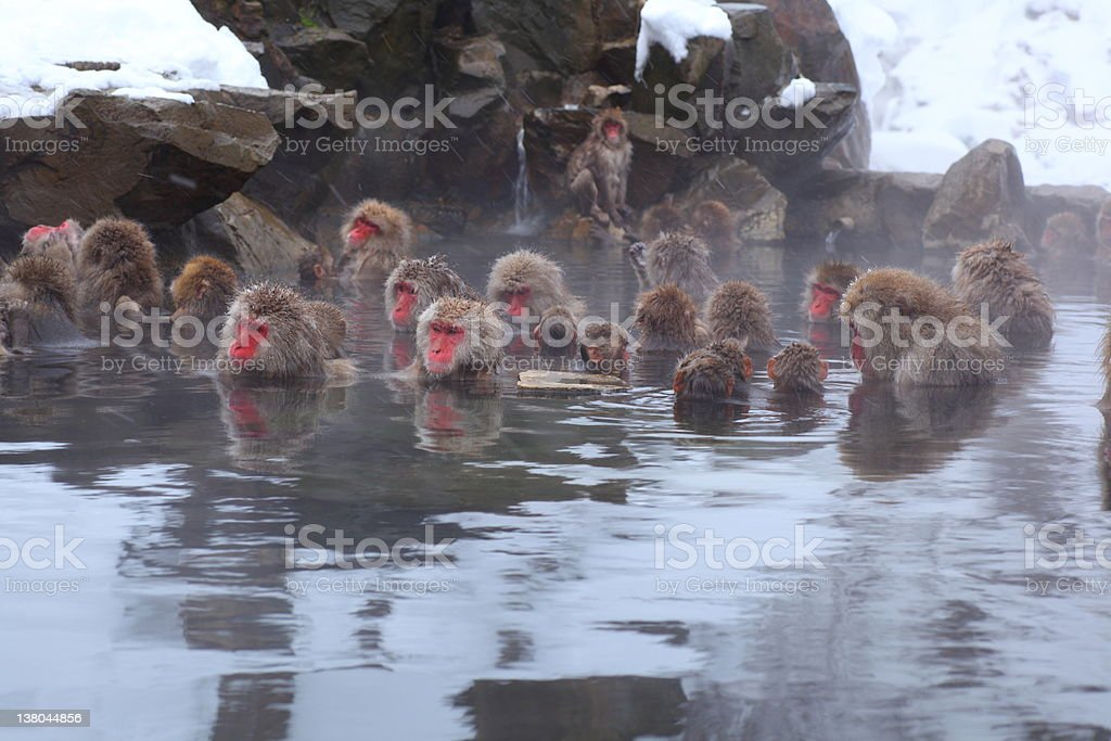 Monkeys sitting in a hot spring stock photo