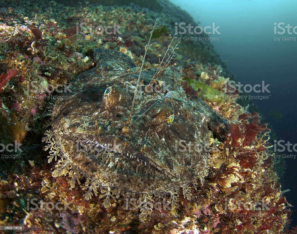 Monkfish portrait in Norway stock photo