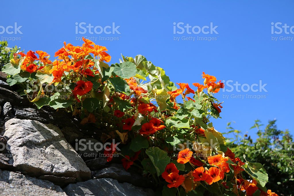 Monks cress under blue sky stock photo