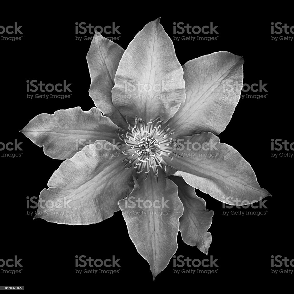 Monochrome clematis blossom -XXXL royalty-free stock photo