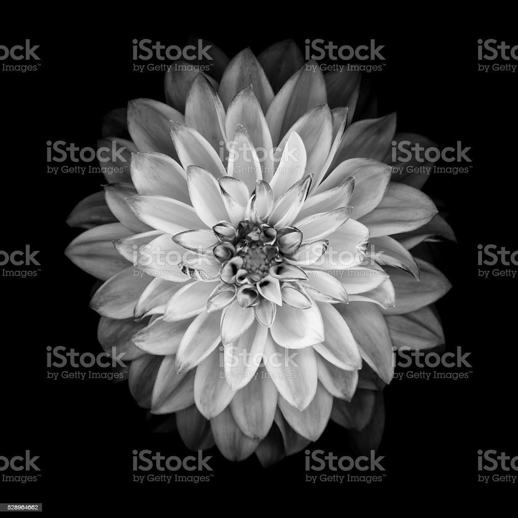 Monochrome dahlia isolated on a black background stock photo