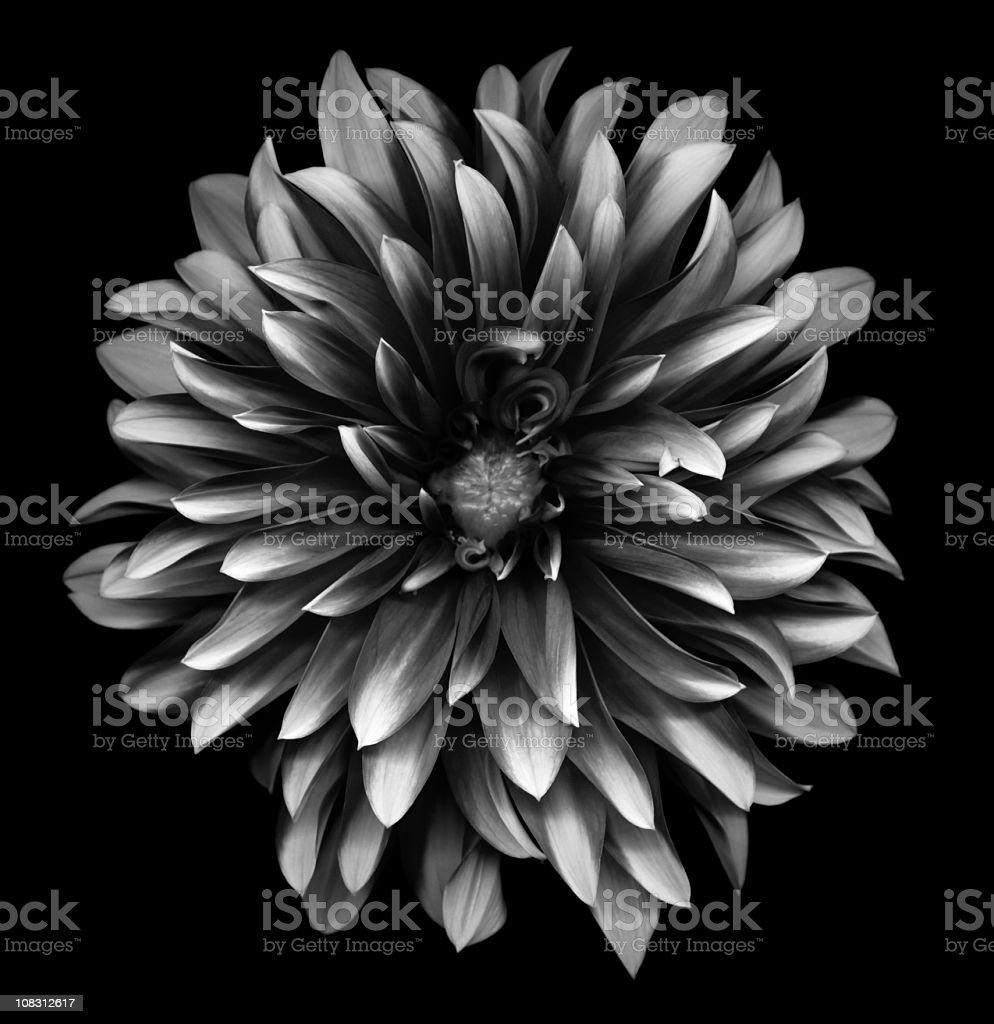 A monochrome dahlia on a black background royalty-free stock photo