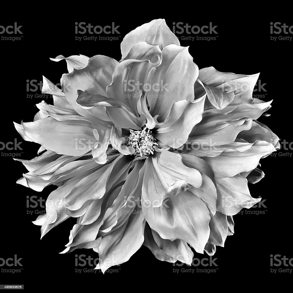 monochrome dahlia on a black background stock photo