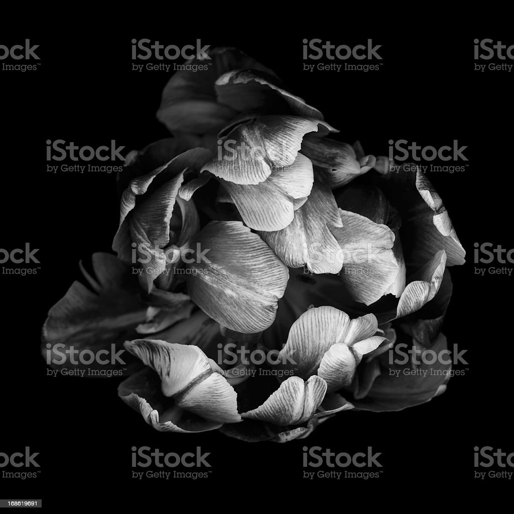 Monochrome double tulip isolated against a black background stock photo