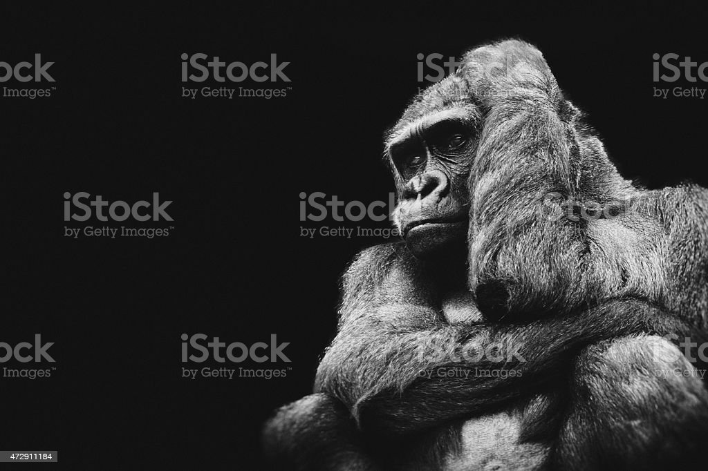 Monochrome graphic of a gorilla in thought stock photo