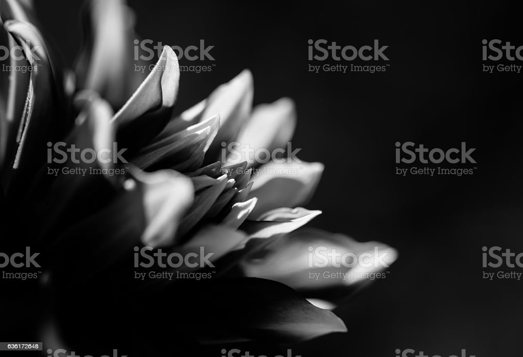 Monochrome image of Pink aster flower stock photo