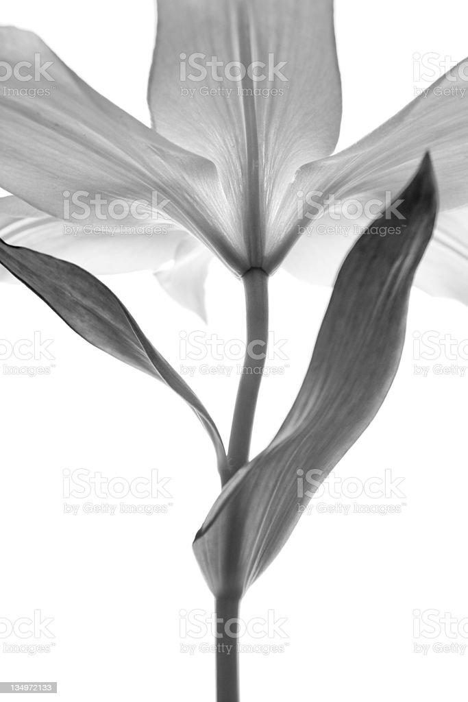monochrome lily royalty-free stock photo