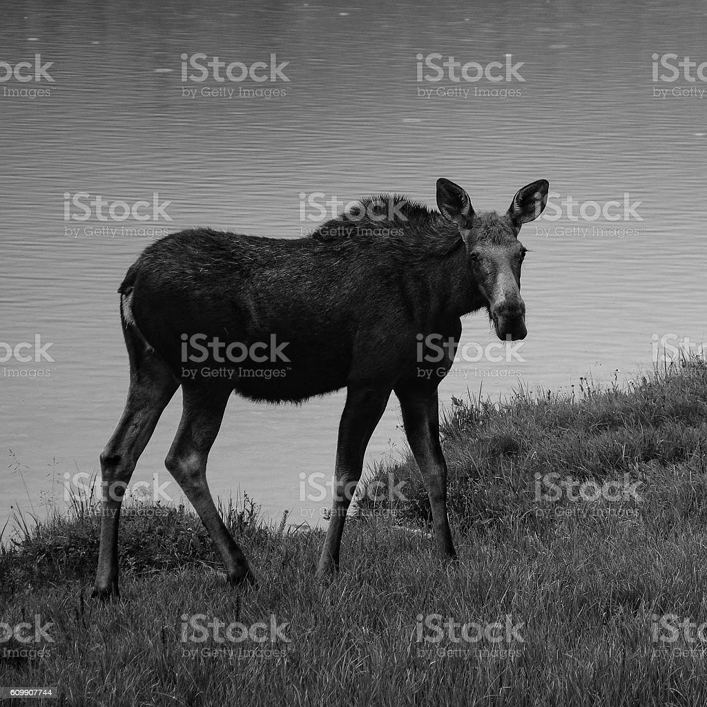 Monochrome Moose stock photo