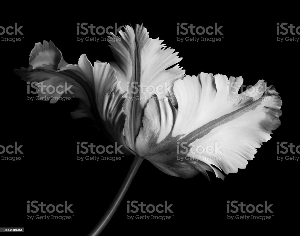 Monochrome parrot tulip with contrasting shades on black background stock photo