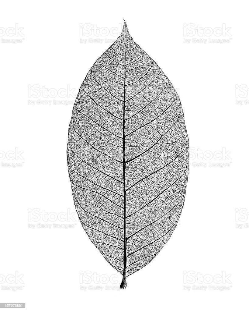 Monochrome photo of skeleton leaf on white background stock photo