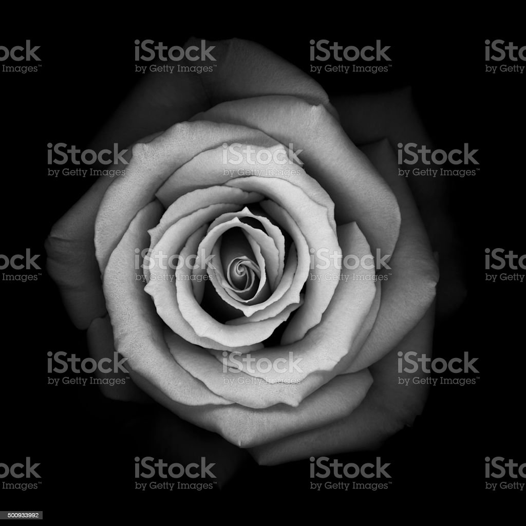 Monochrome Rose stock photo
