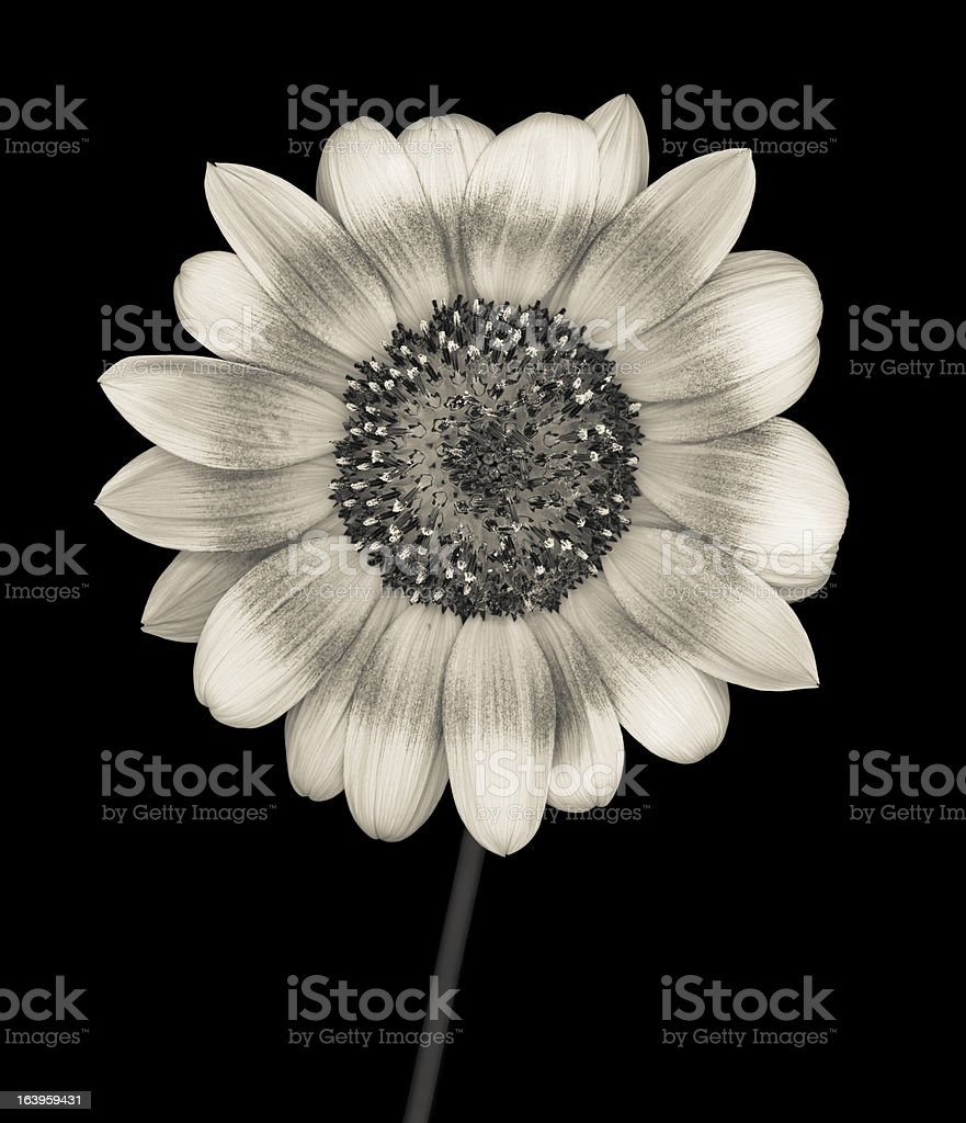 Monochrome sunflower isolated on black royalty-free stock photo