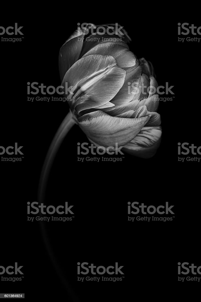 Monochrome tulip isolated against a black background stock photo