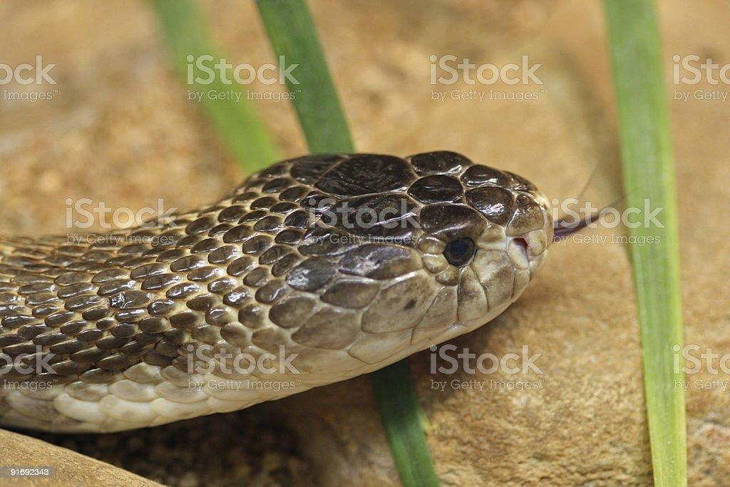 Monocled Cobra royalty-free stock photo