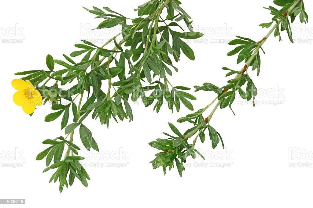Monrovia Potentilla Leaf stock photo