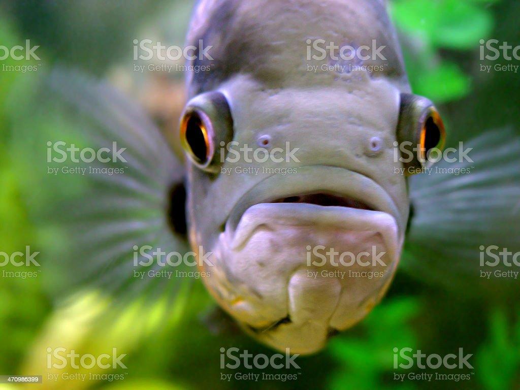 Monster fish royalty-free stock photo