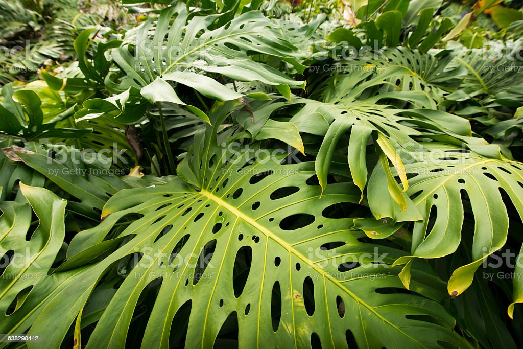 Monstera Deliciosa Cheese Plant Leaves in Hawaii Tropical Rainforest Jungle stock photo