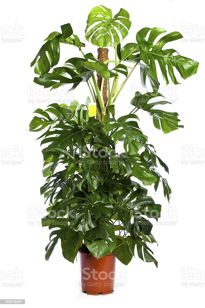 monstera deliciosa royalty free stock photo