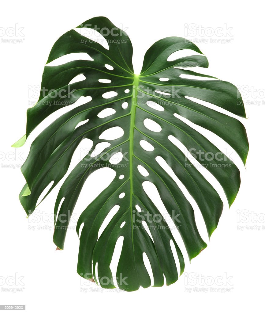 leaf tropical climate cheese plant cut out green color monstera deliciosa