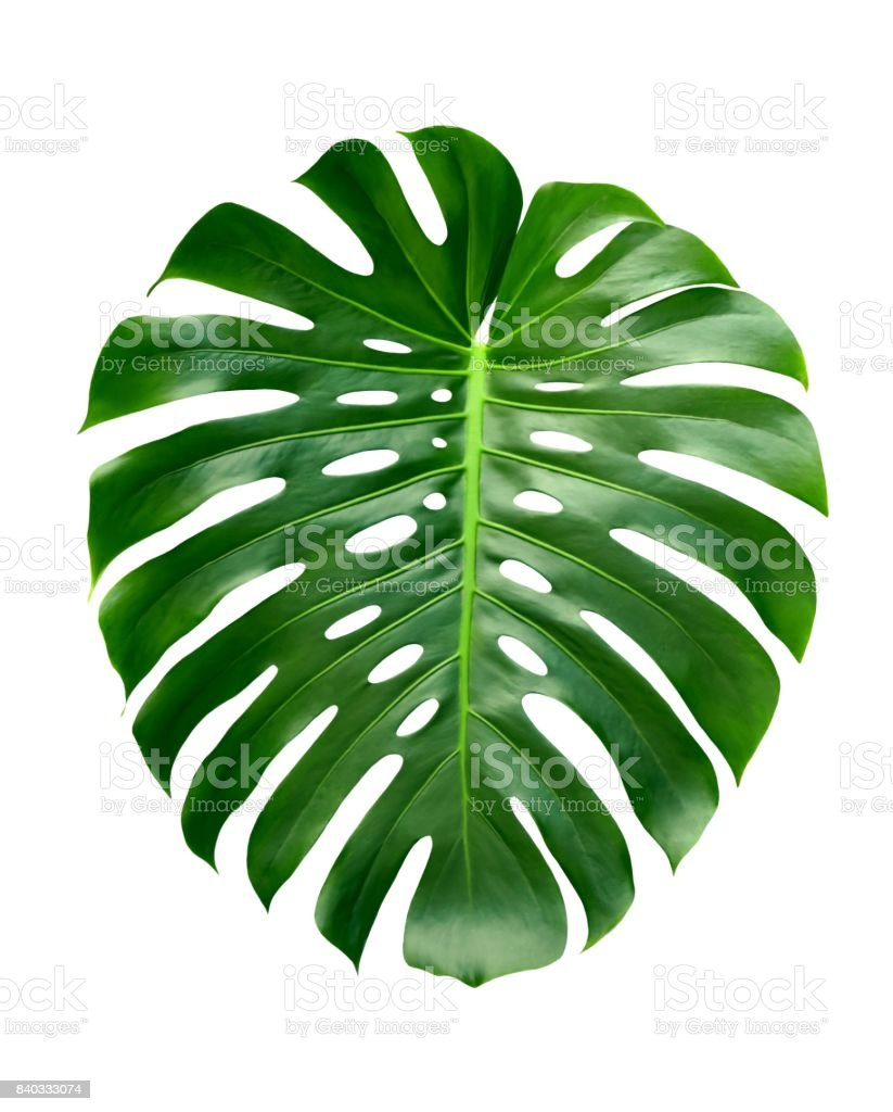 Monstera large tropical leaf, Swiss Cheese Plant, isolated on white background, design pattern stock photo