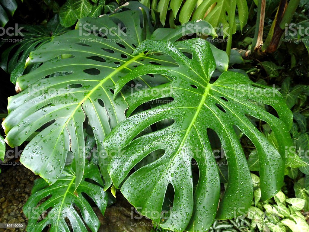 Monstera leaf stock photo