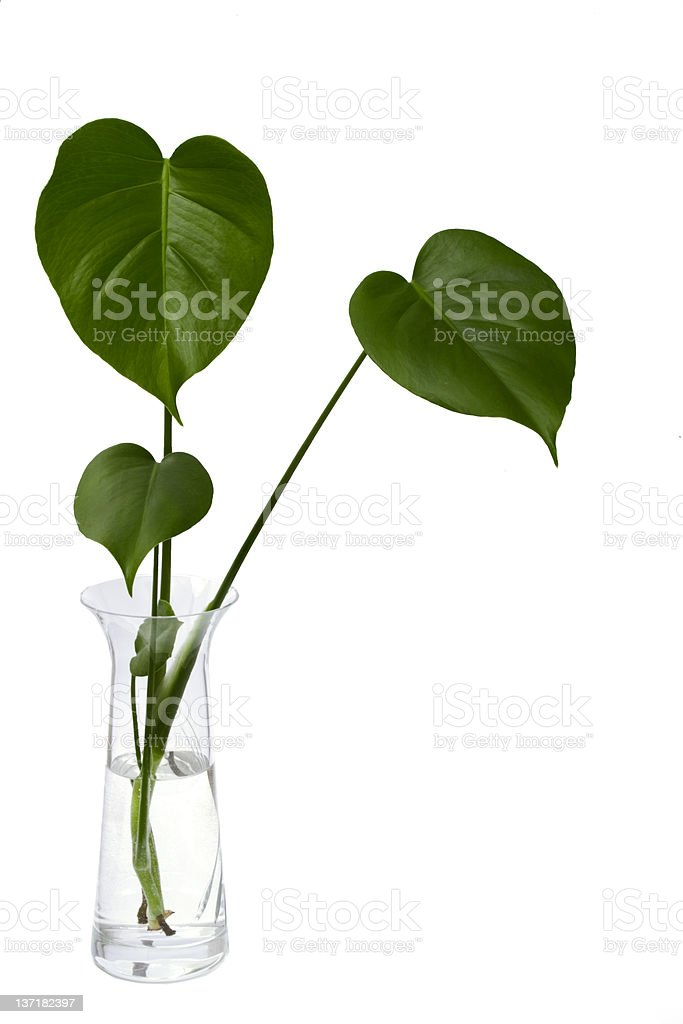 Monstera stock photo