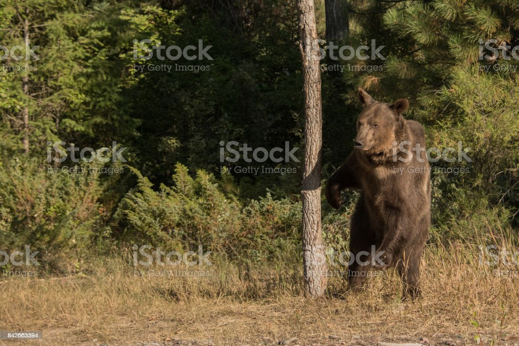 Montana Grizzly Bear stock photo