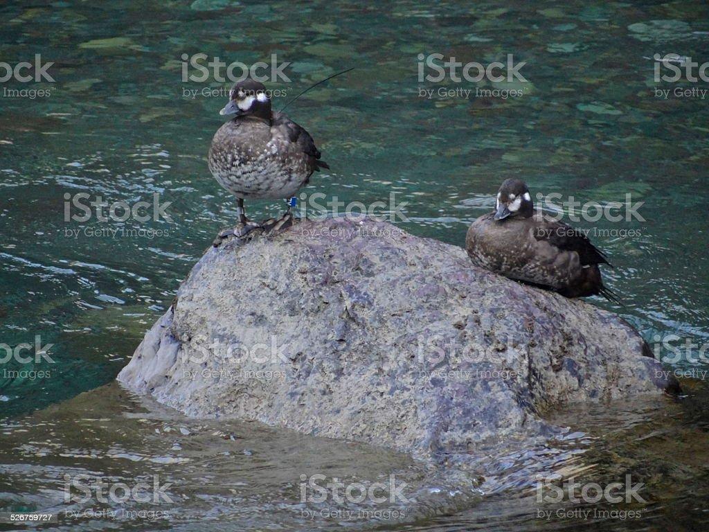 Montana Harlequin Ducks stock photo