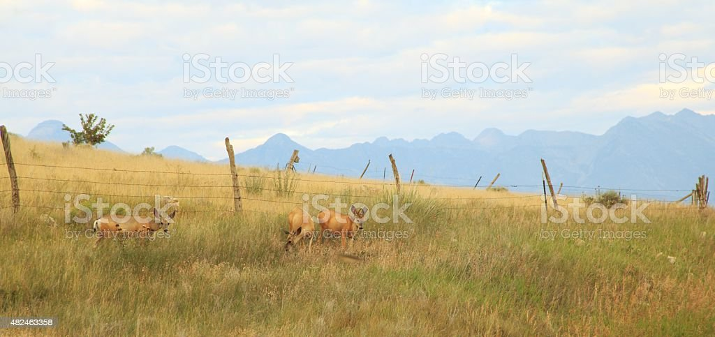 Montana Mule Deer stock photo