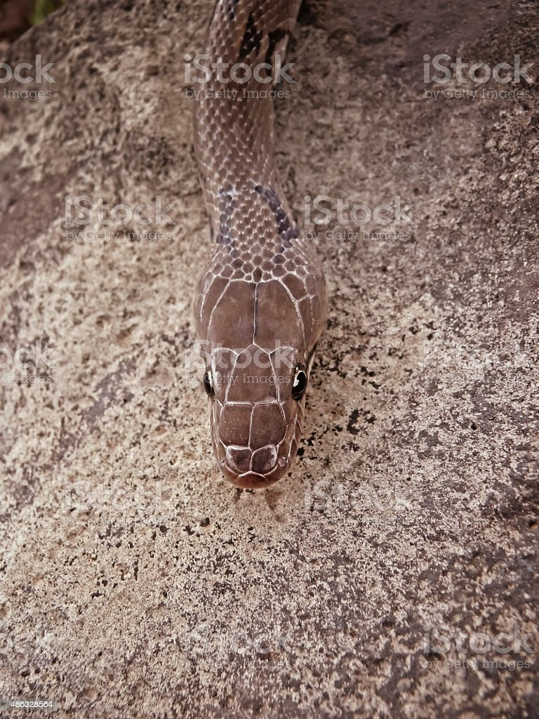 Montane Trinket Snake, Collard Trinket Snake, Coelognathus helena monticollaris stock photo
