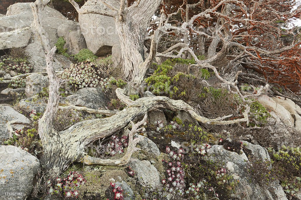 Monterey Cypress on Steep Hill royalty-free stock photo