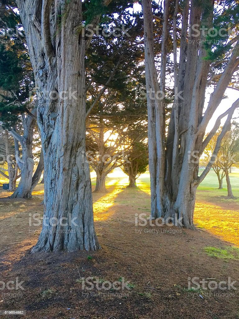 Monterey Cypress stock photo
