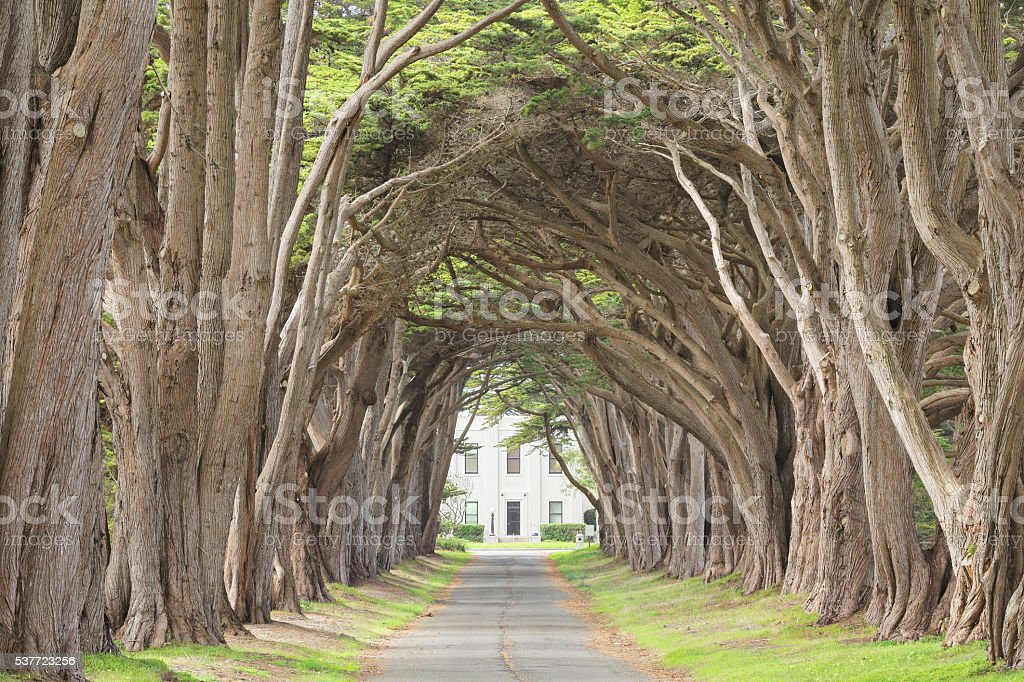 Monterey Cypress Tree Tunnel stock photo