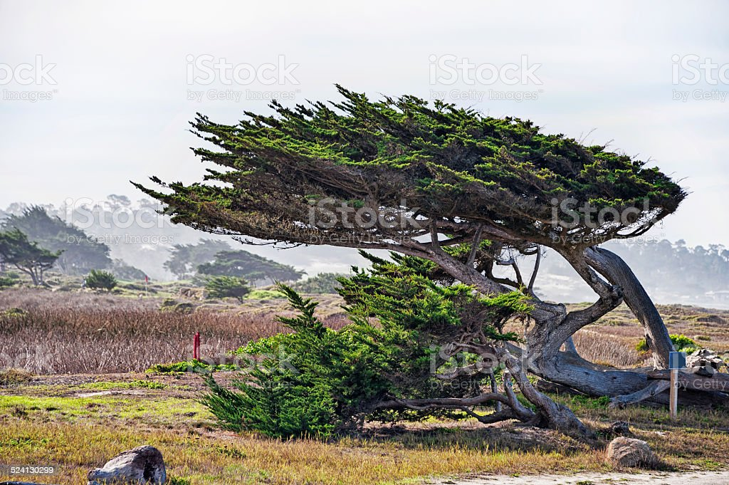Monterey Cypress with morning fog in Pacific Grove along coastline stock photo