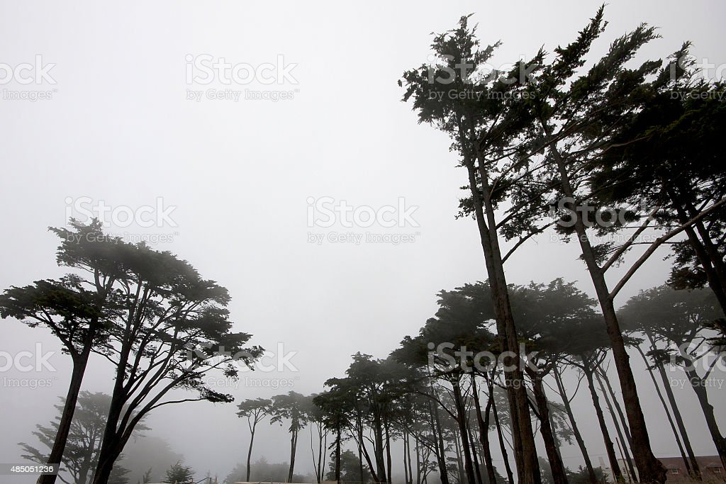 Monterey Cypresses in silhouette stock photo