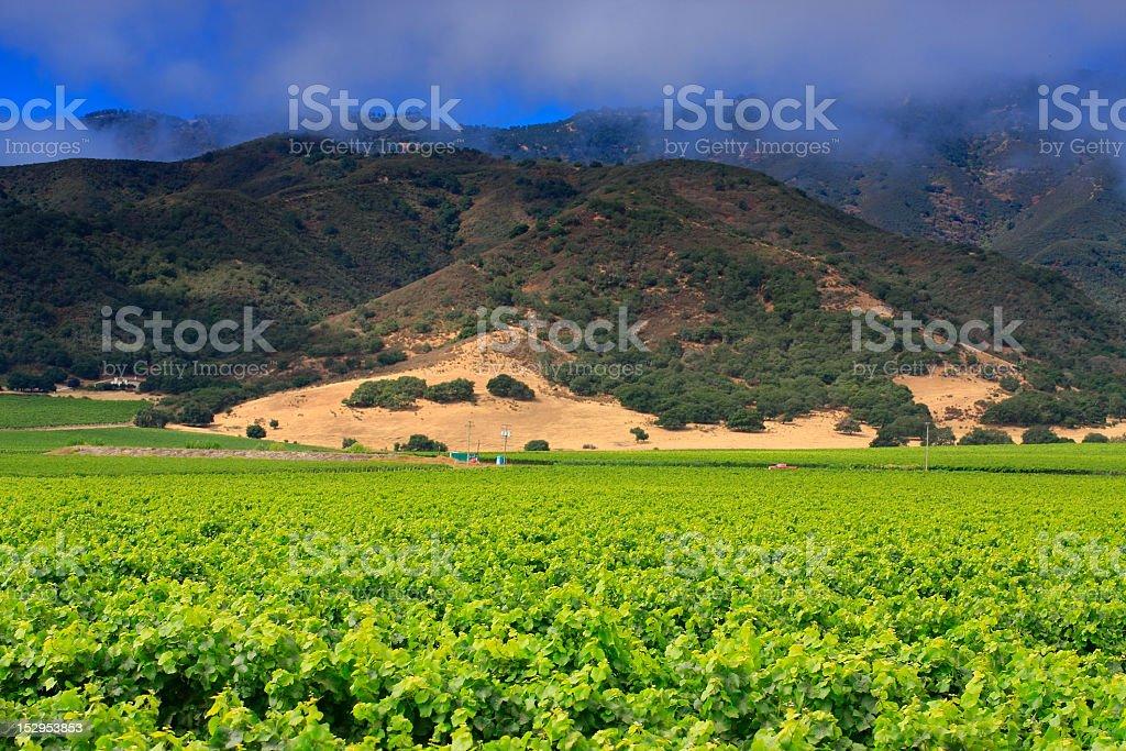 Monterey Pinot Noir Vineyard stock photo
