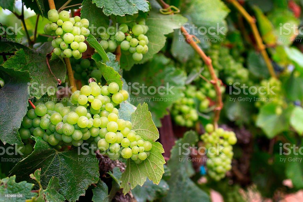 Monterey Vineyard Chardonnay Grapes stock photo