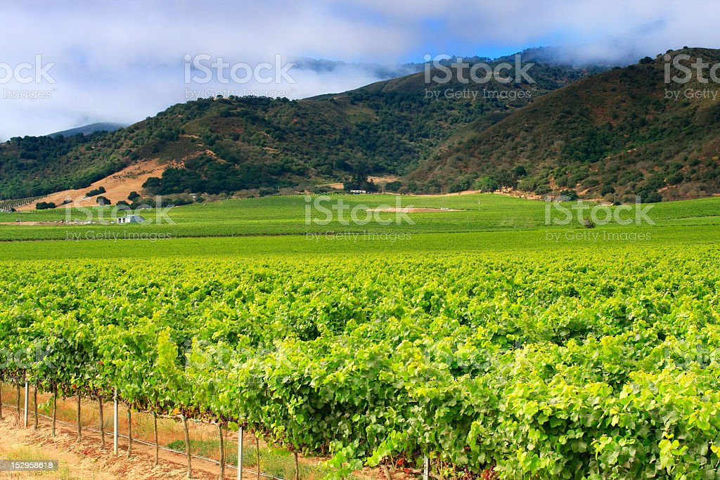 Monterey vineyard, pinot noir grapes, California stock photo