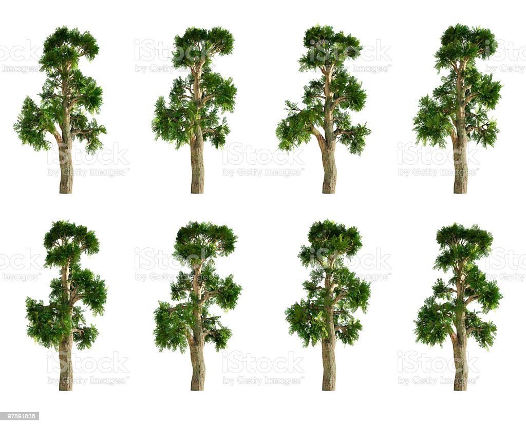 Montezuma Cypress Tree Collection royalty-free stock photo