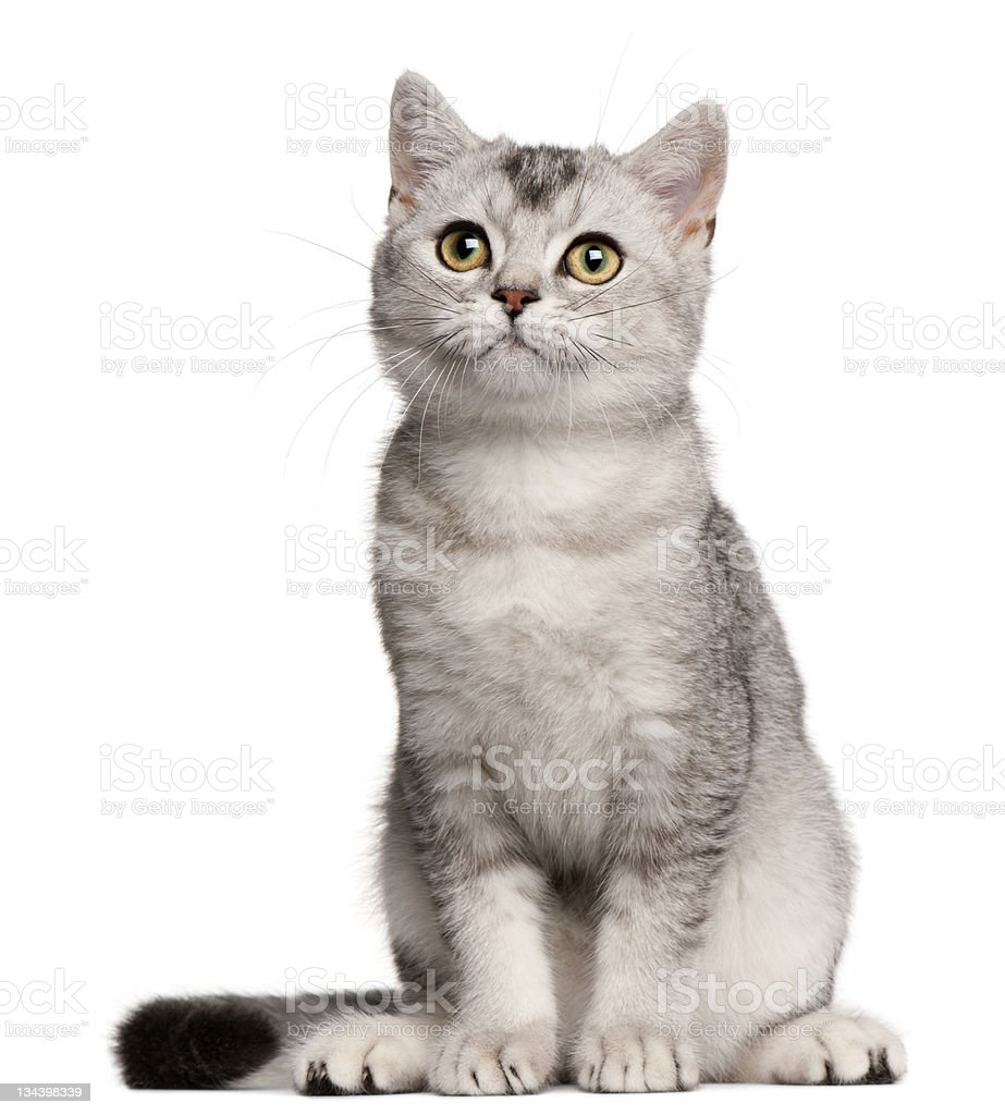 4 month old British shorthair kitten sitting image on white stock photo