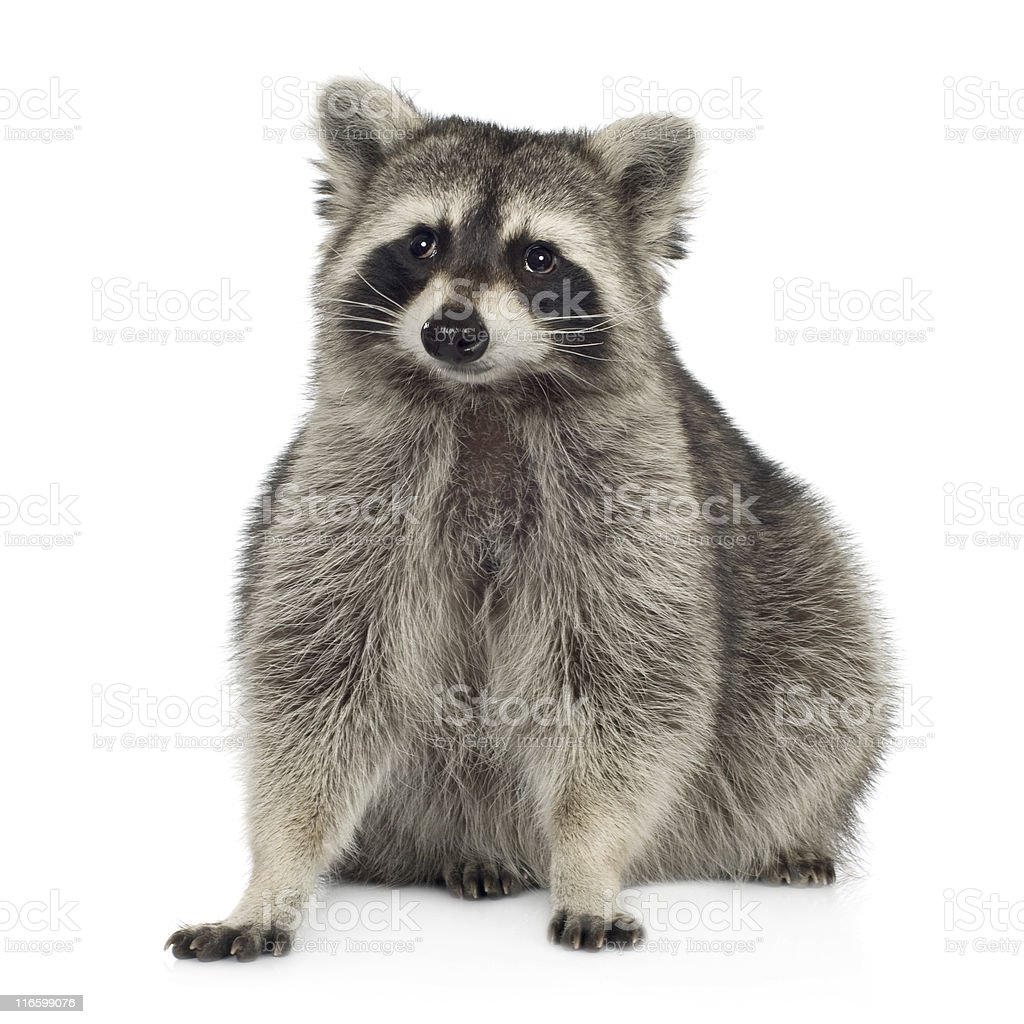 A 9 month old raccoon Procyon motor with white background stock photo