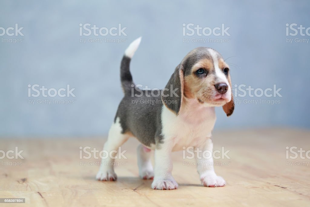 2 month strong beagle puppy in action stock photo