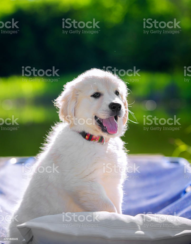 3 month young retriever puppy  outside on garden pond royalty-free stock photo