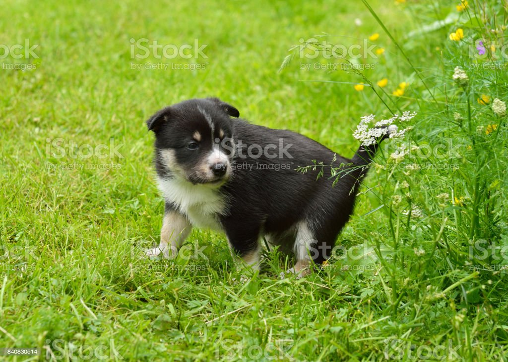 Monthly puppy walks on glade stock photo
