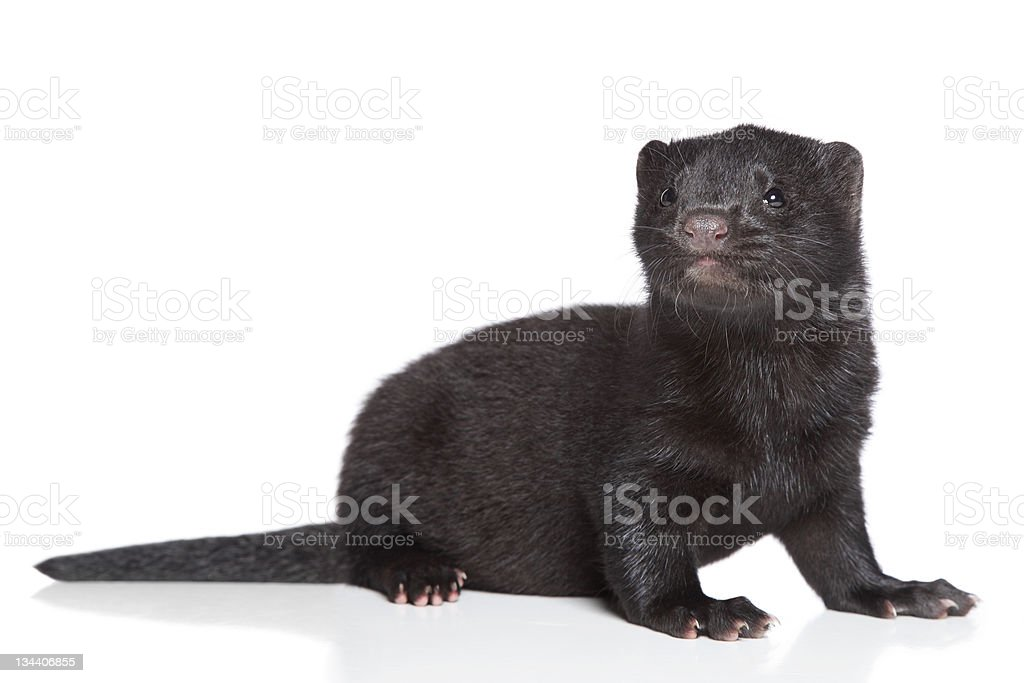1 month-old black American mink stock photo