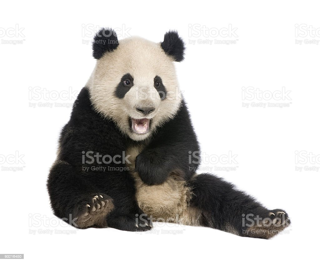 A 18 months old giant panda on white background stock photo