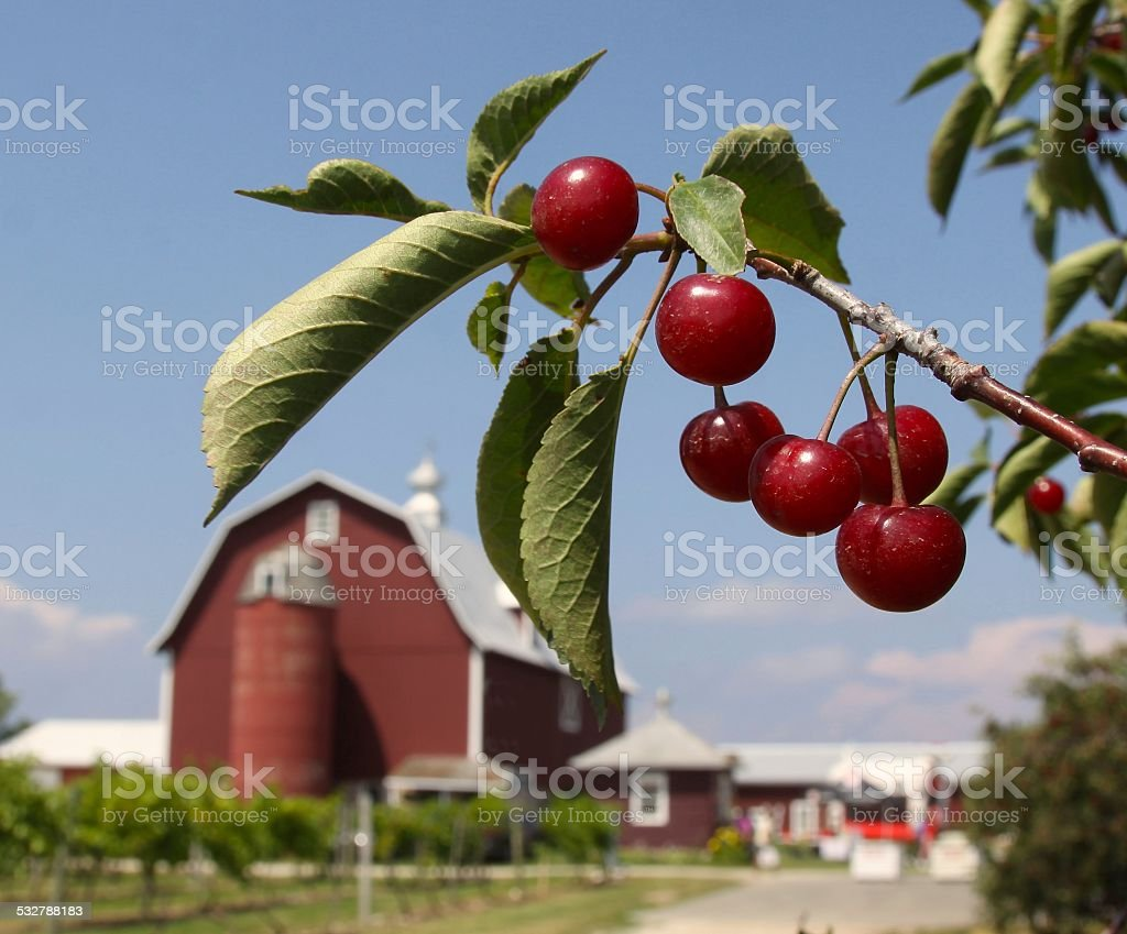 Montmorency Cherries In The Orchard stock photo